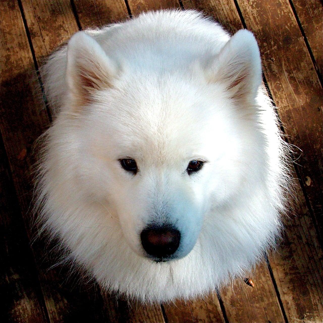 samoyed, dog, pet
